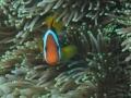 clownfish_and_anemone_1