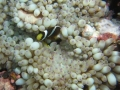 clownfish_and_anemone_2